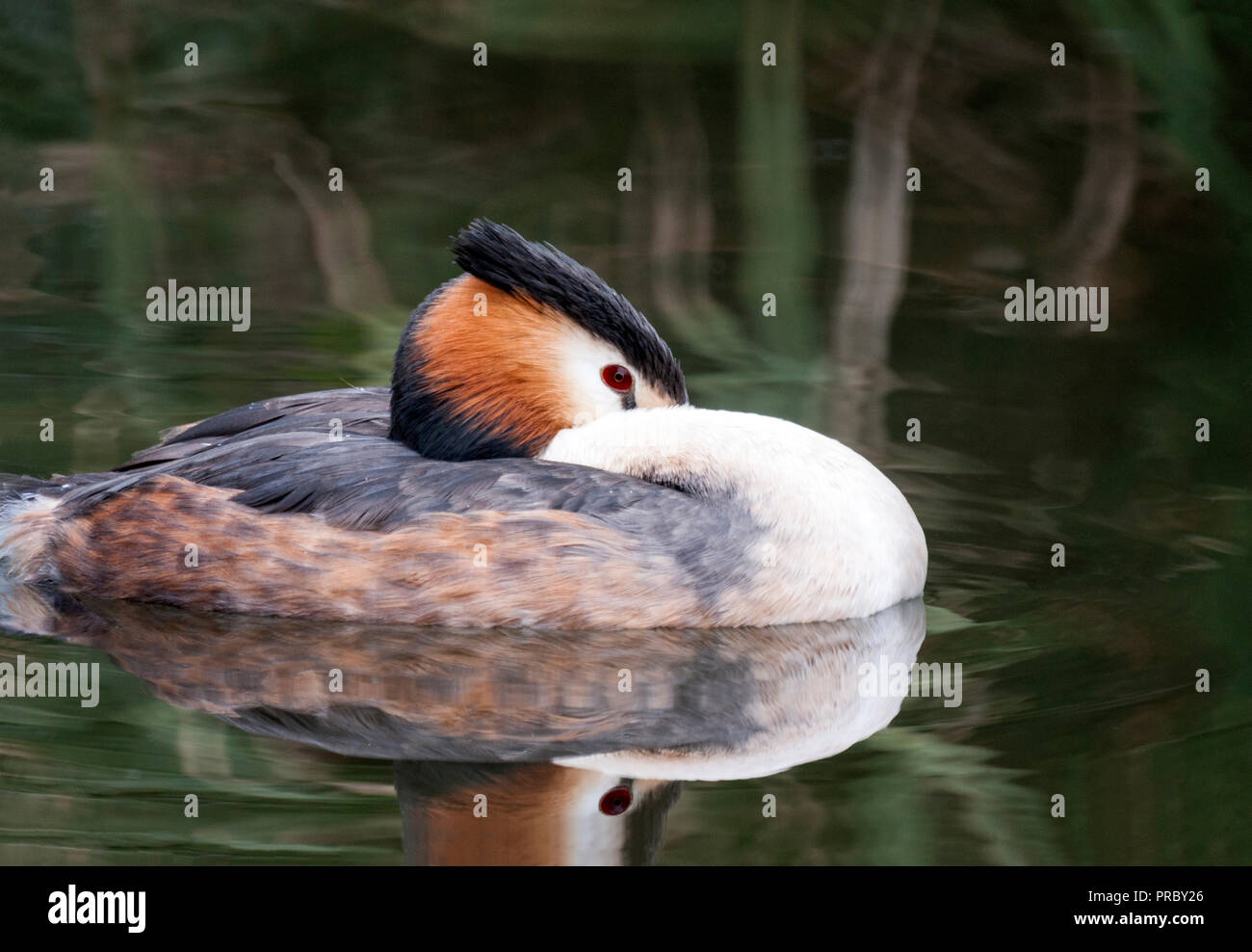 Great Crested Grebe (Podiceps cristatus).Adult in summer plumage. - Stock Image