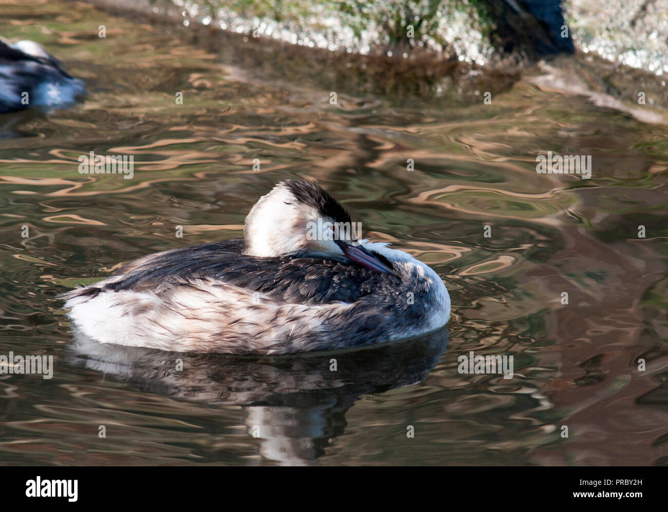 Great Crested Grebe (Podiceps cristatatus).Adult in winter plumage. - Stock Image
