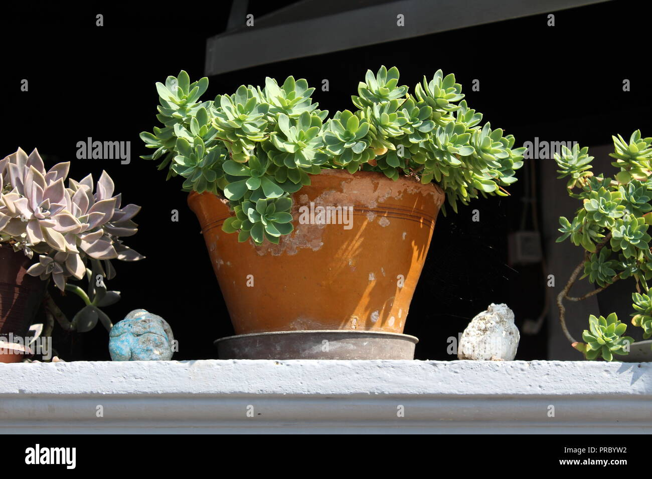 Sedum or Stonecrop perennial leaf succulent with water-storing leaves plants growing from clay flower pots on top of stone balcony fence on warm sunny - Stock Image