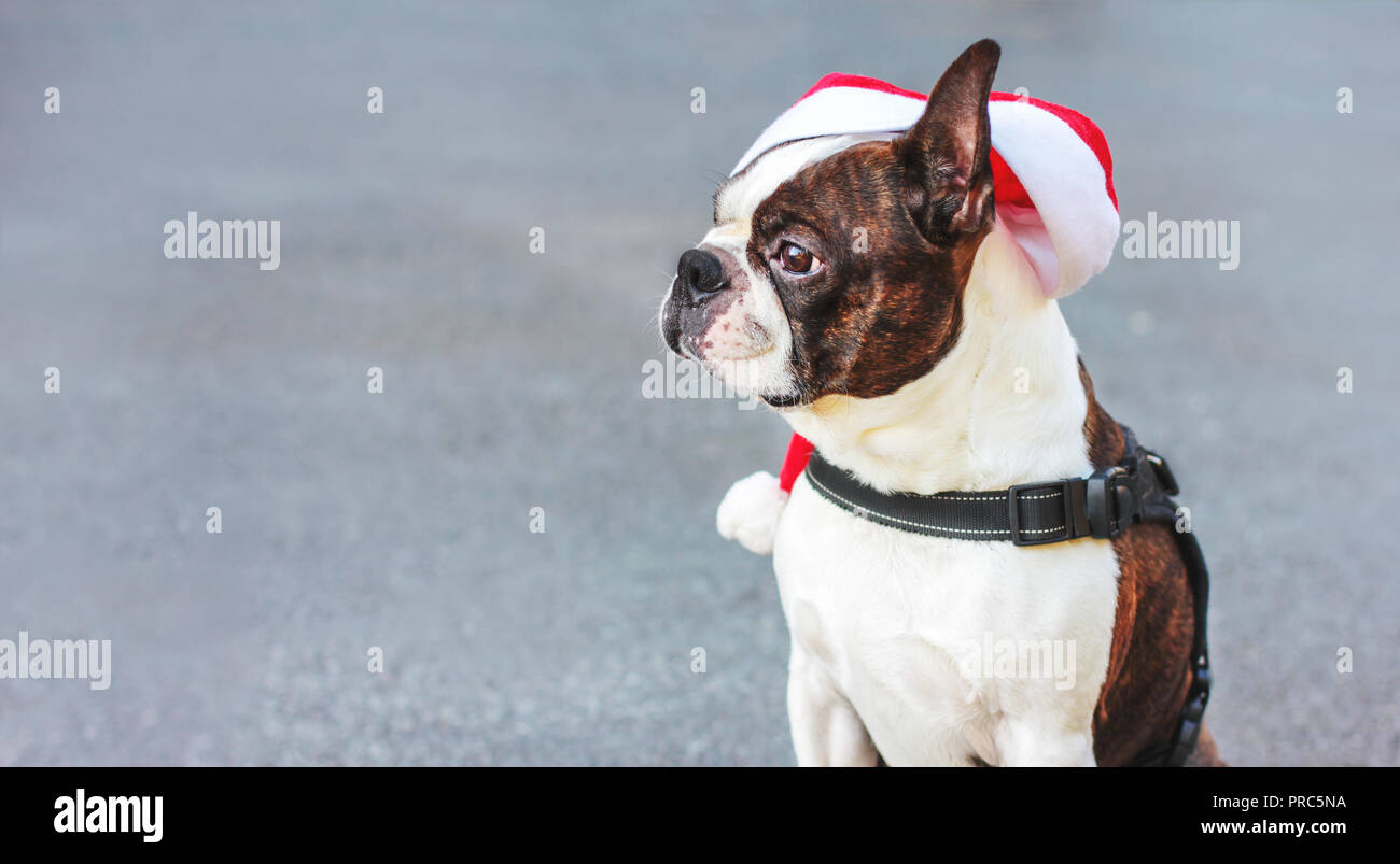 Cute Dog Boston Terrier Santa Hat Sitting On Grey Background Banner Stock Photo Alamy