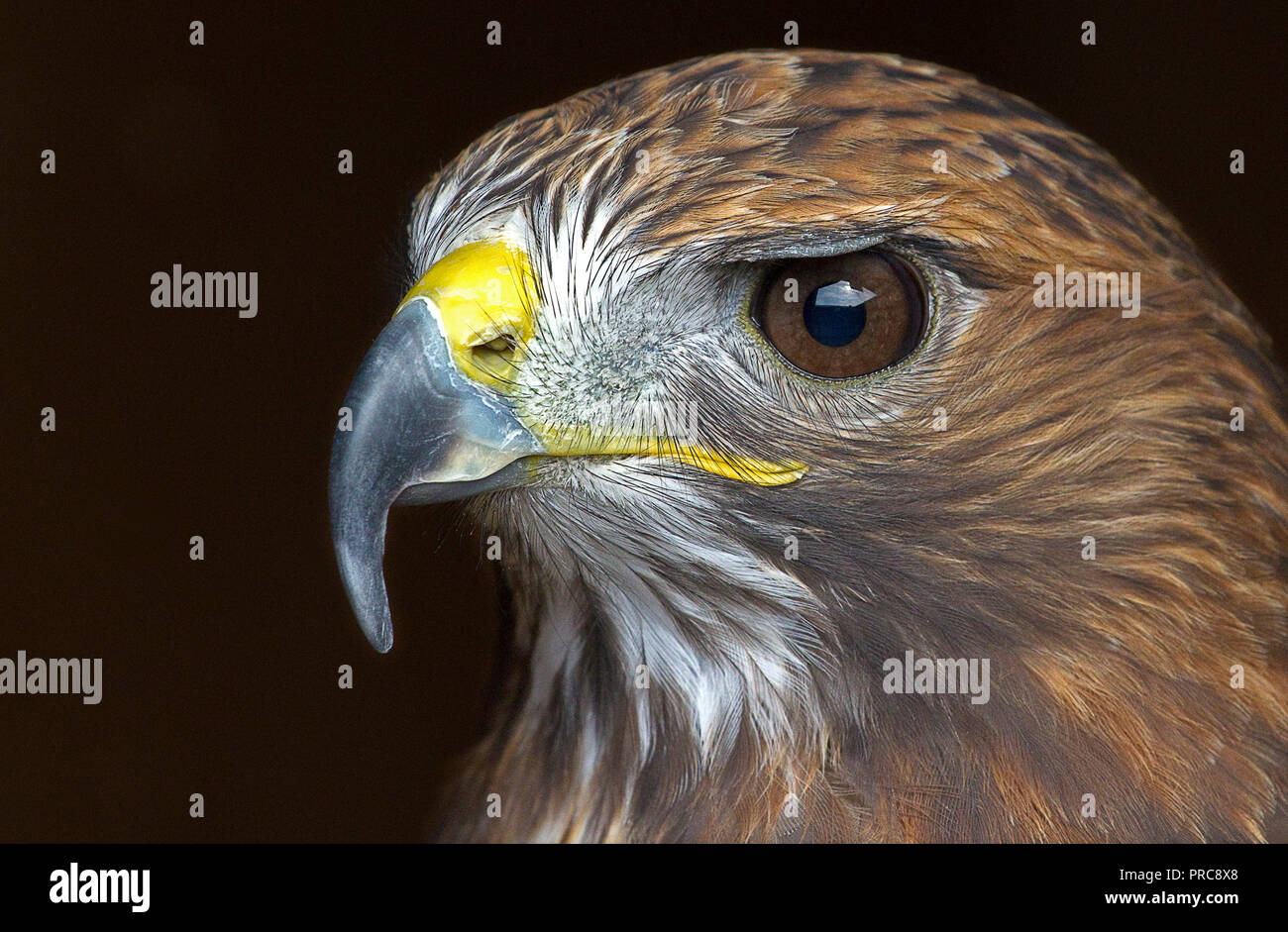 Eagle Eyes - Stock Image