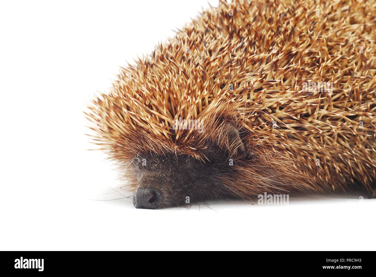 hedgehog over a white background - Stock Image