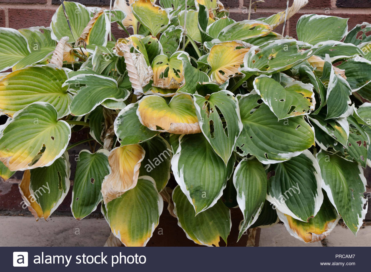 Hostas Plant With Holes In Leaves From Slug Bites Stock Photo