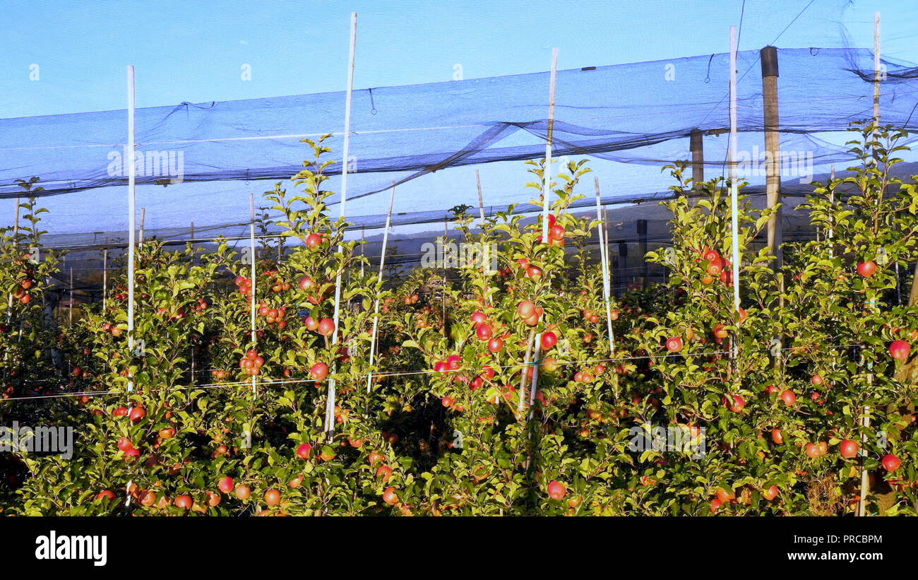Apple plantation, orchard with anti hail net for protection, pan shot from side, read apples on tree in sunrise, fruit production, plant protection - Stock Image