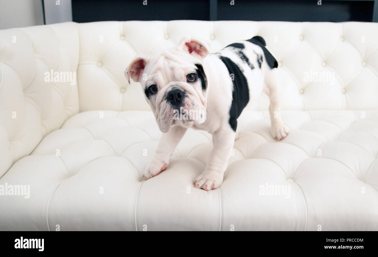 black & white baby bulldog puppy dog crouches on a modern pleated couch. He is looking forward with his mouth closed. - Stock Image