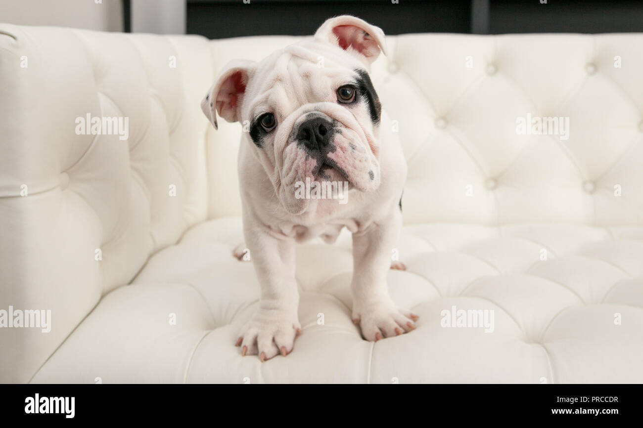 Black & white baby bulldog puppy dog stands up on a modern pleated couch. He is facing forward with his head tilted. - Stock Image