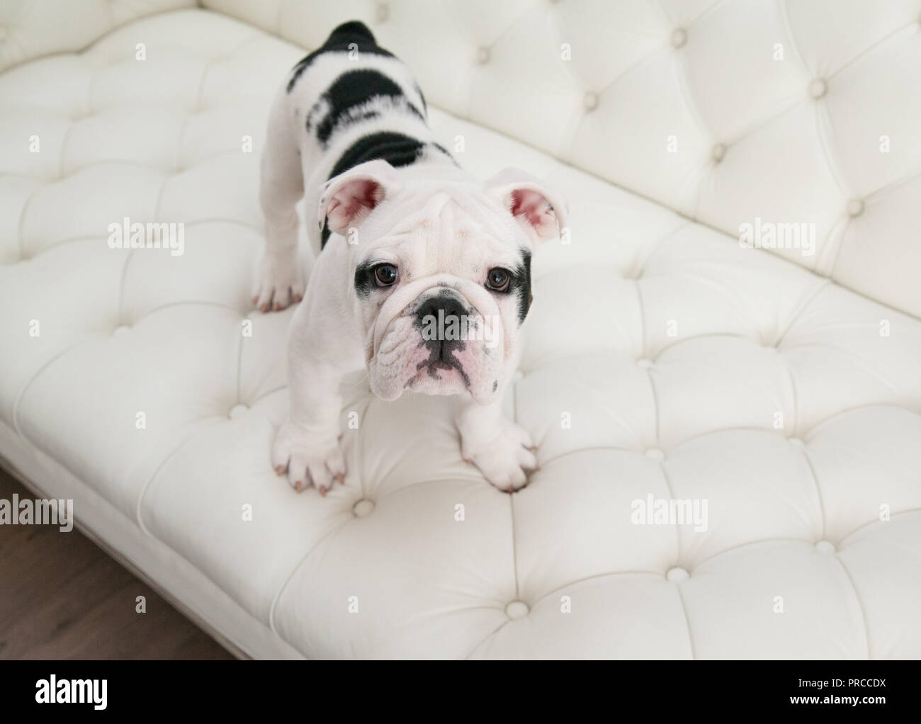 Black & white baby bulldog puppy dog stands up on a modern white pleated couch. He is looking up. - Stock Image
