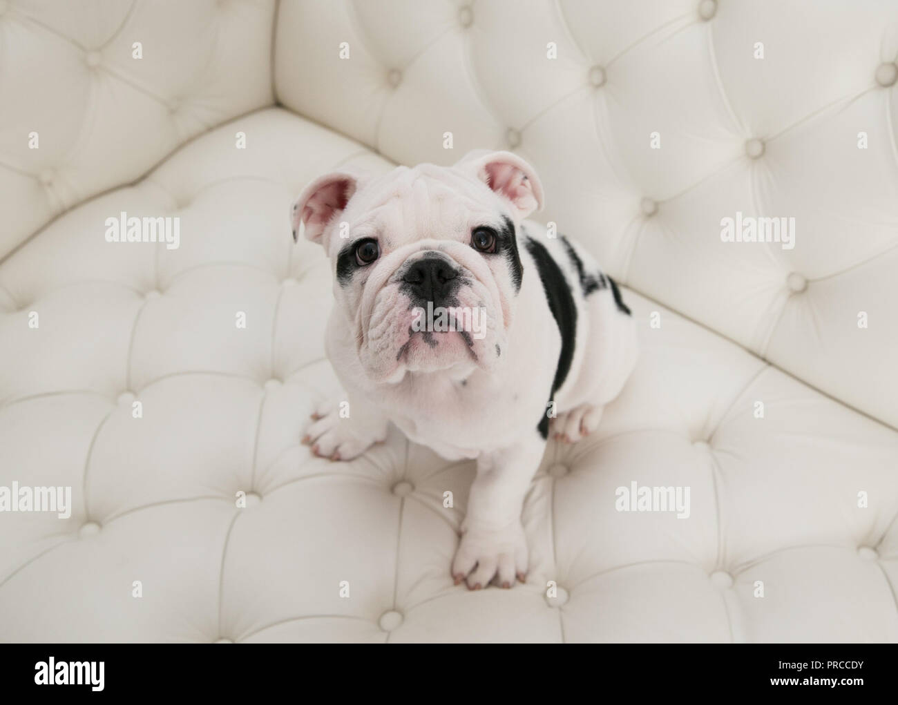 Black & white baby bulldog puppy dog sits up on a modern pleated couch. He is looking upwards.  He has a bit of a head tilt. Camera is looking down - Stock Image