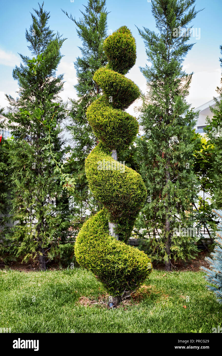 Evergreen aborvitae thuya tree trimmed in a decorative spiral shape in a garden - Stock Image