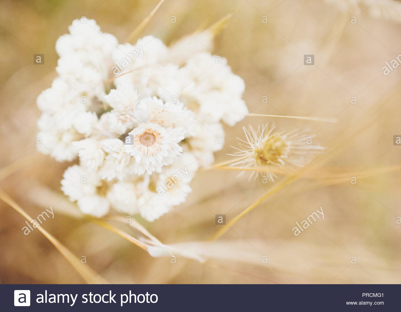 Warm breezy day near the coast of Point Reyes National Seashore - wildflowers and soft backdrop as copy space. - Stock Image
