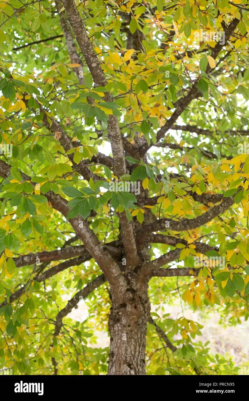 A Black Tupelo (nyssa sylvatica) tree at Alton Baker park in Eugene, Oregon, USA. - Stock Image