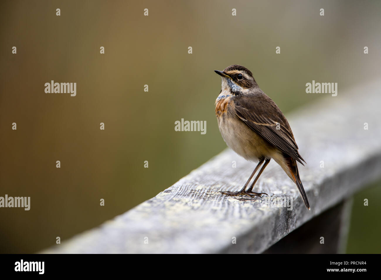 Bluethroat (Luscinia svecica, 1st-w) perching on the wooden railing with a nice defocused background. - Stock Image