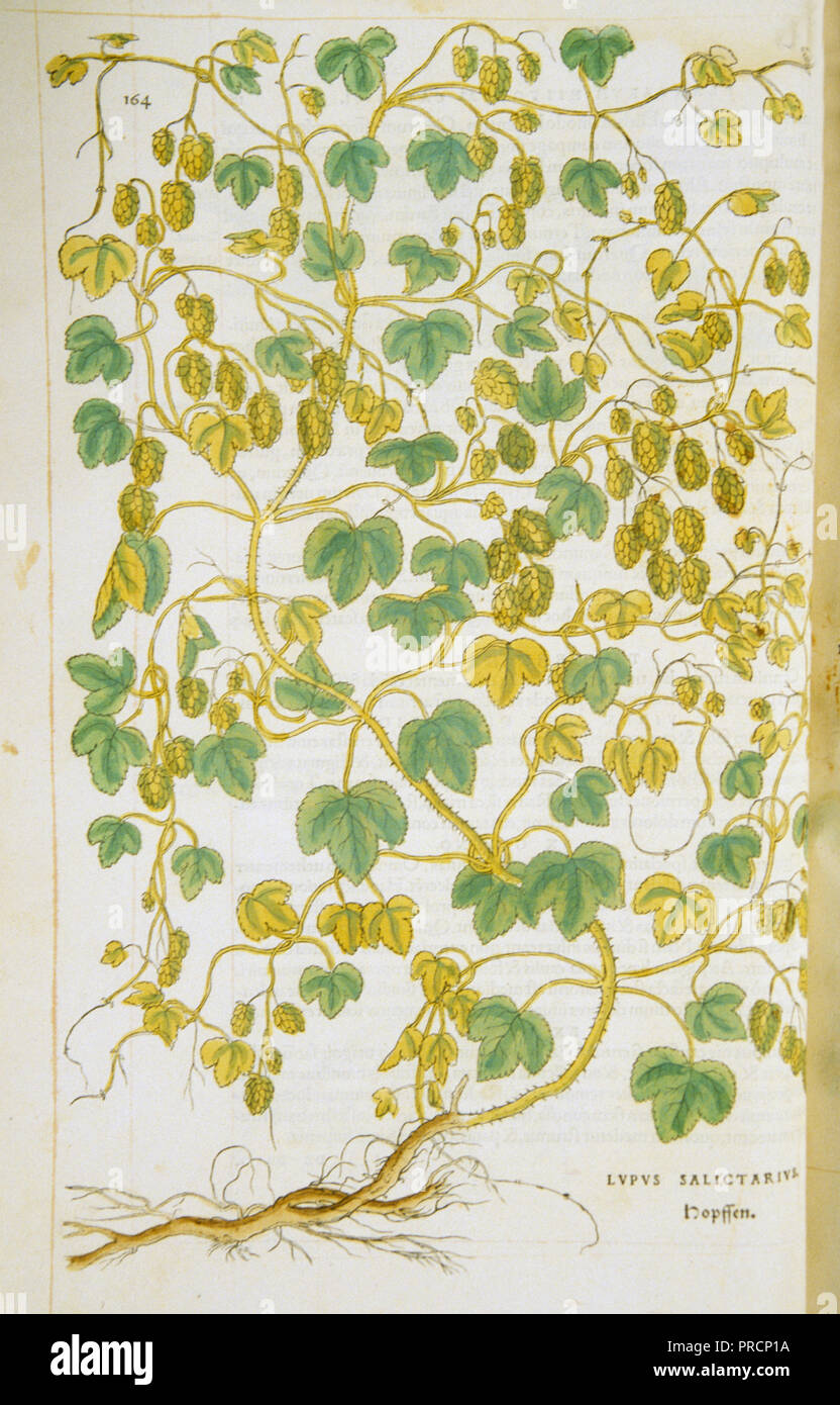 Hand-colored woodcut of the hop vine (hops) - Stock Image