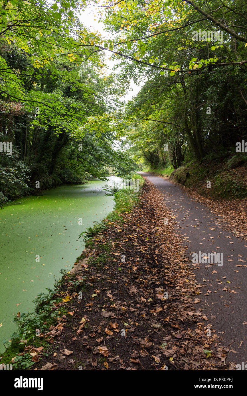 Lagan towpath,  between Lisburn and Belfast, popular with walkers and cyclists. Towpath covered in fallen leaves and canal has a green algae, taken du - Stock Image