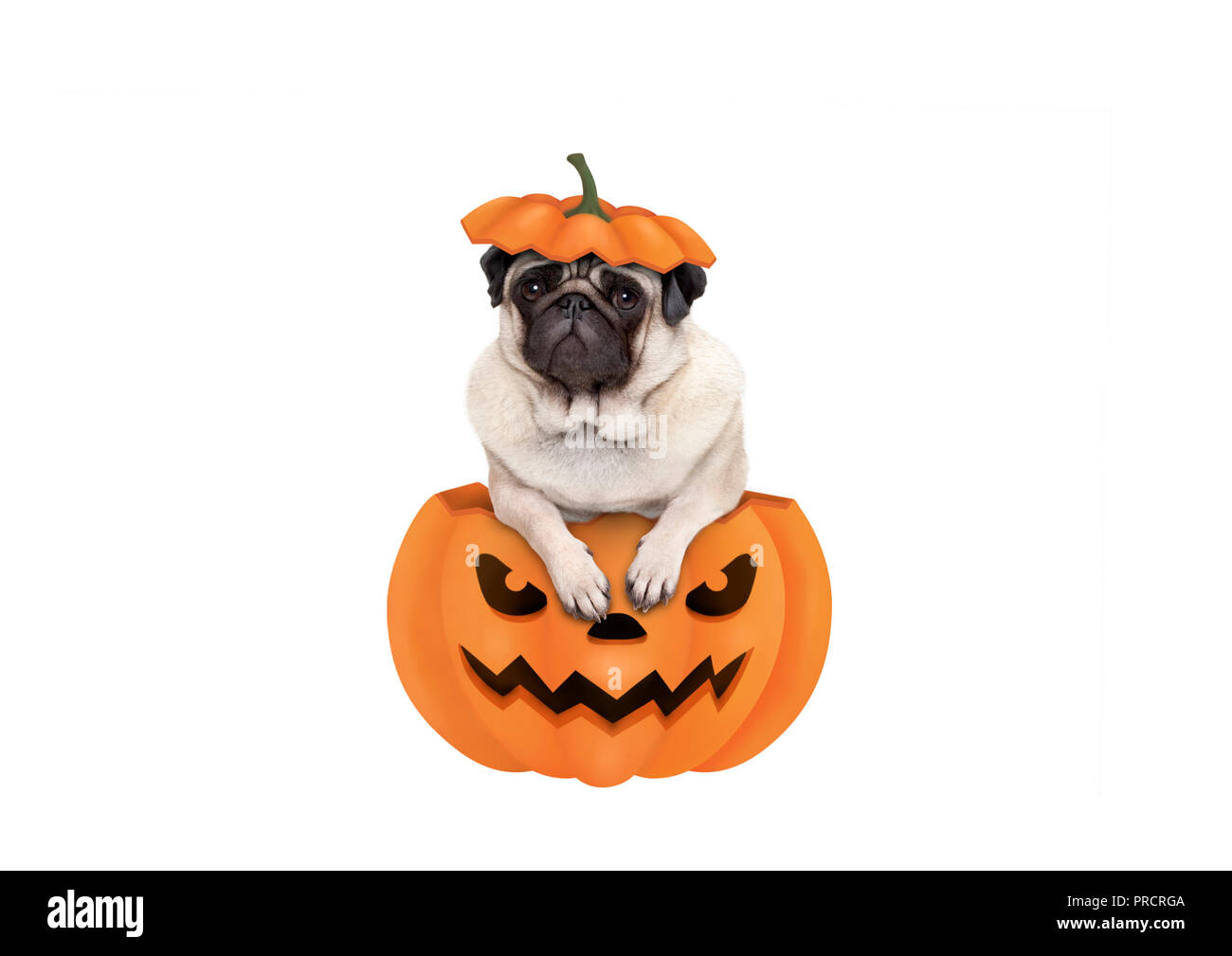 cute pug puppy dog sitting in carved pumpkin with scary face, wearing lid as hat, isolated on white background Stock Photo
