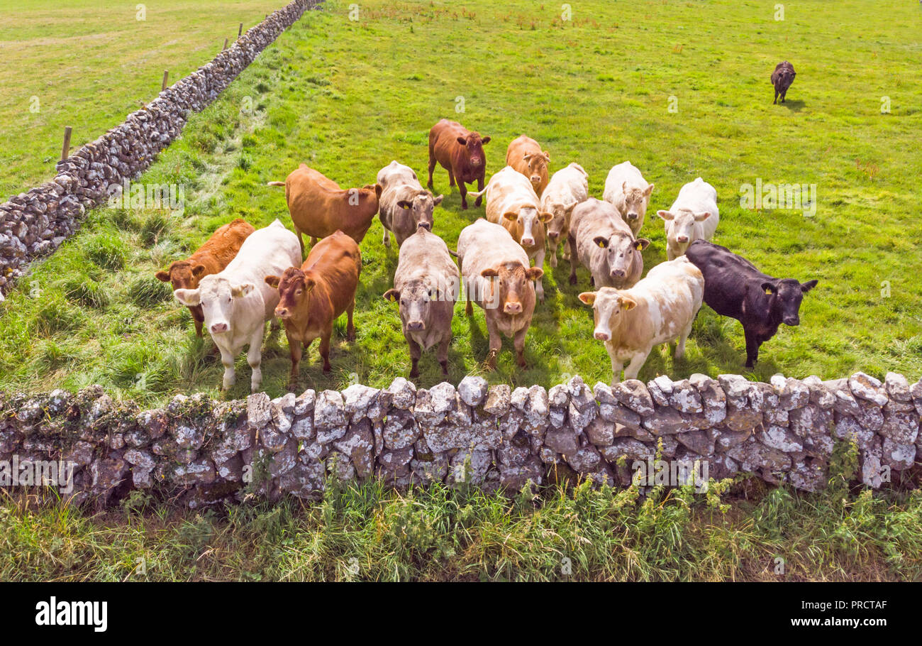 An aerial view of a small herd of inquisitive cows in a meadow near Lough Corrib in County Galway, Ireland. Stock Photo