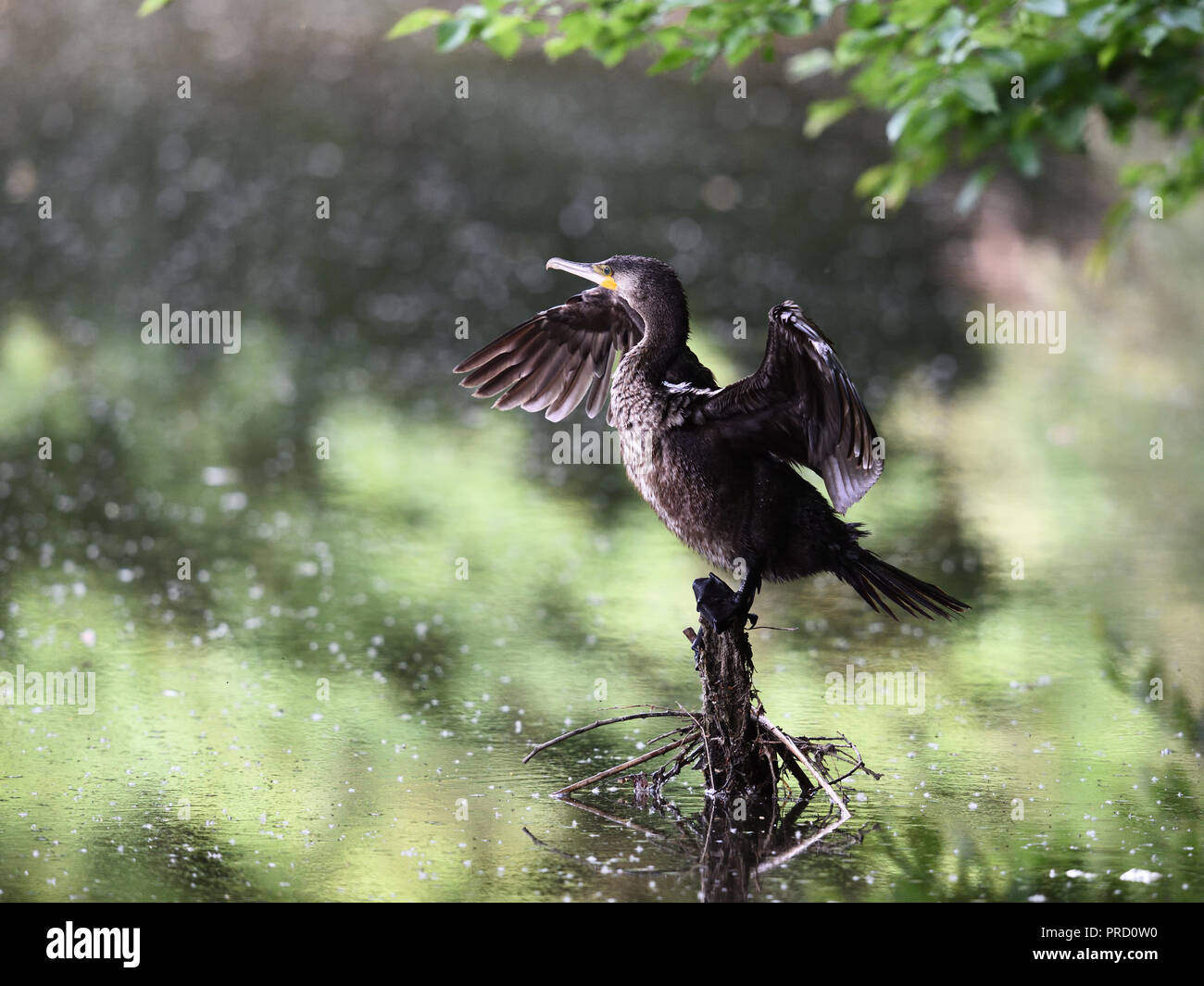 Ein Kormoran trocknet seine Fluegel (a cormorant is drying her wings) - Stock Image