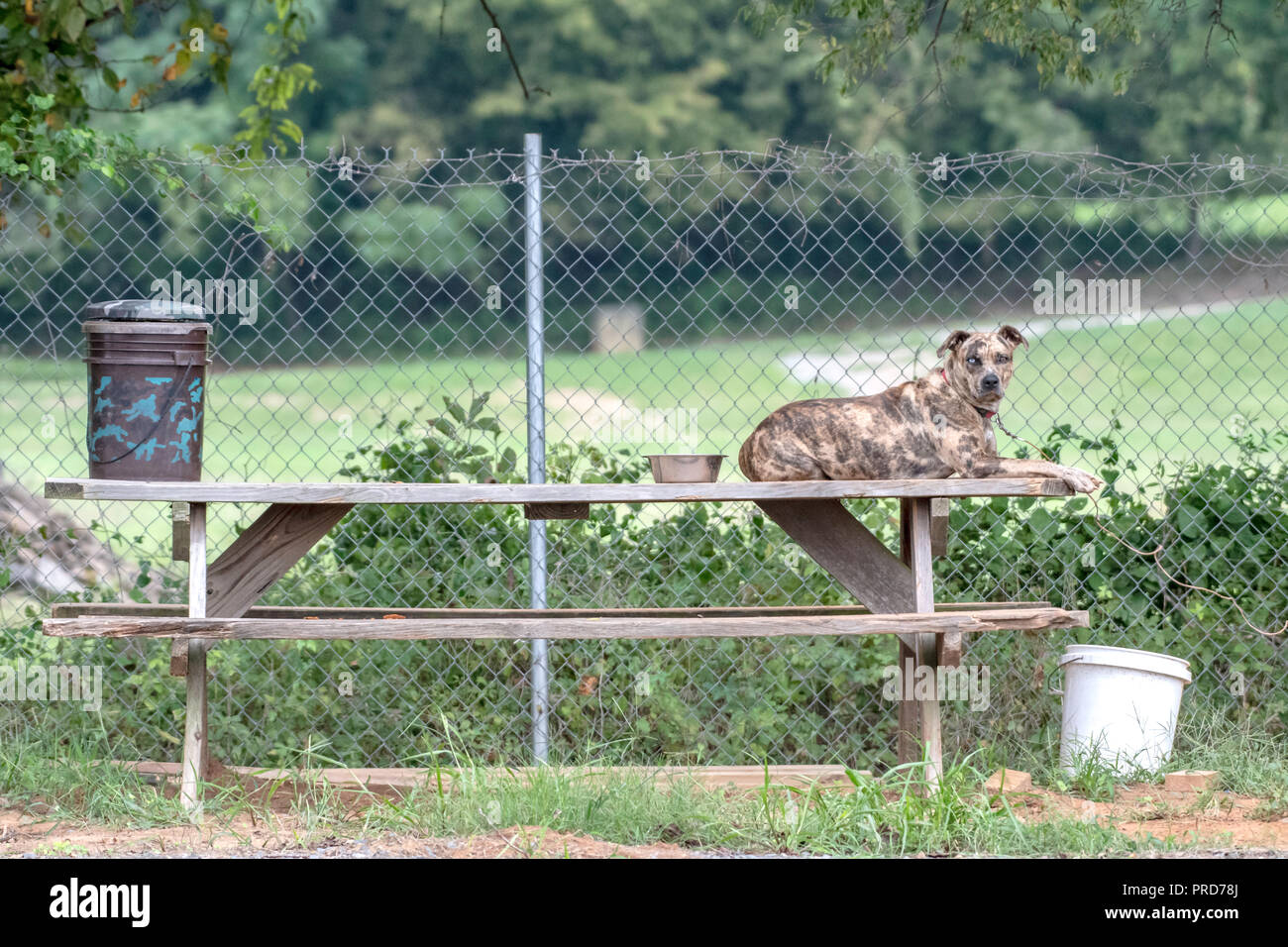 A brindle pit bull mixed-breed dog relaxes on a picnic table at camp in a striking horizontal symmetrical composition. - Stock Image