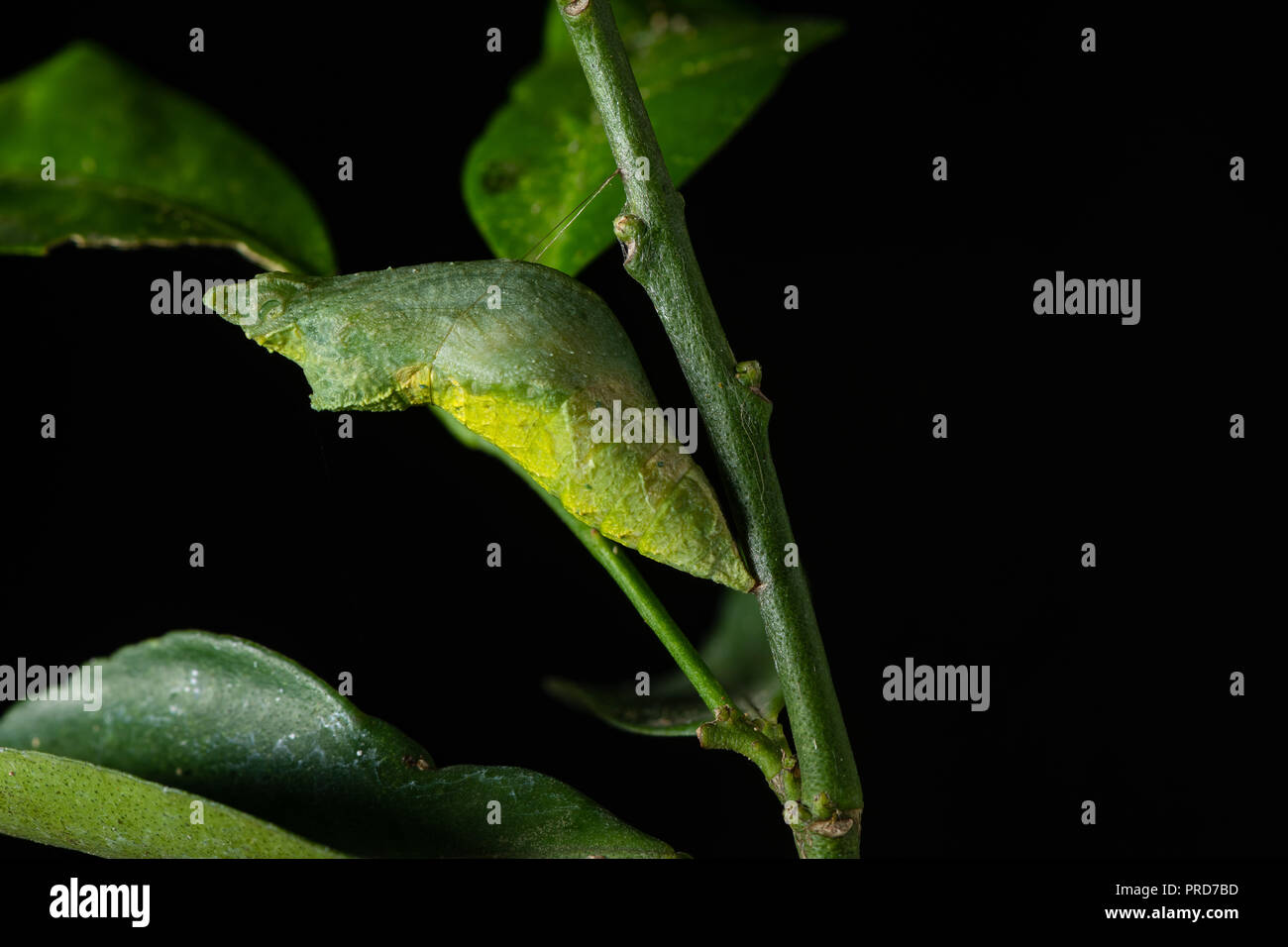One day old of Lime Swallowtail butterfly during pupal stage to become a butterfly - Stock Image