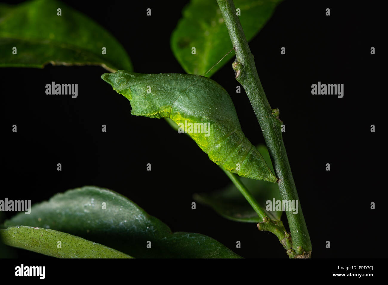 Two days old of Lime Swallowtail butterfly during pupal stage to become a butterfly - Stock Image