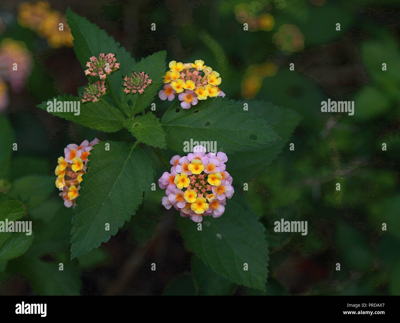 Perennial lantana stock photos perennial lantana stock images alamy lantana camara beautiful small flowers tickberry and green leaves stock image mightylinksfo