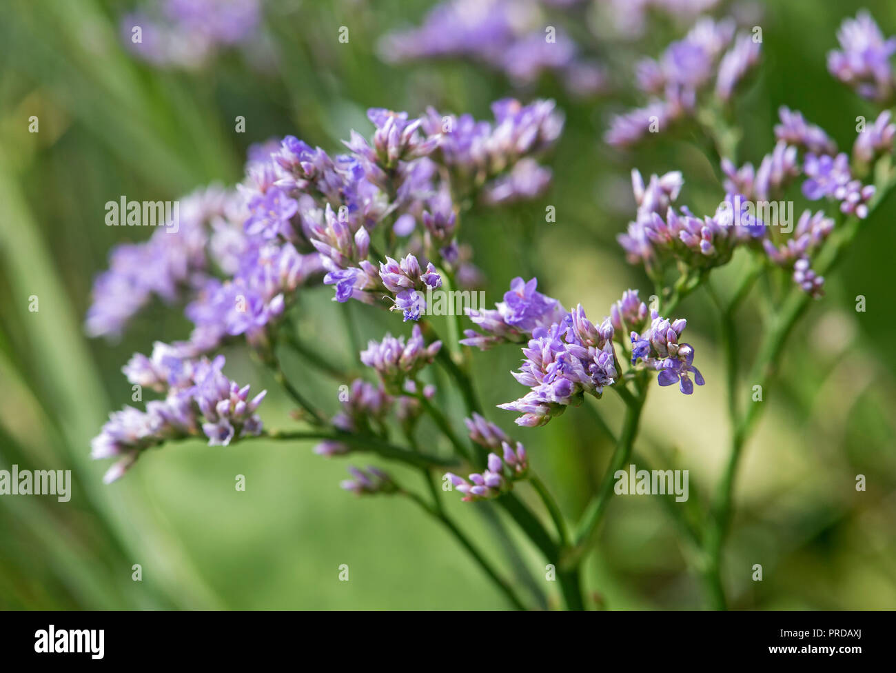 Common sea lavender (Limonium vulgare), North Sea Coast, Schleswig-Holstein, Germany - Stock Image