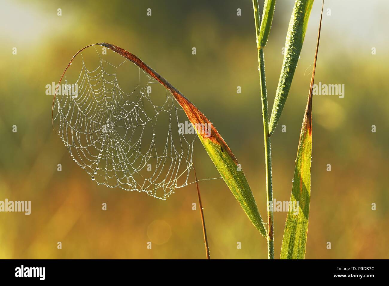 Spider's web in the morning dew, Reussspitz nature reserve, Canton Zug, Switzerland - Stock Image