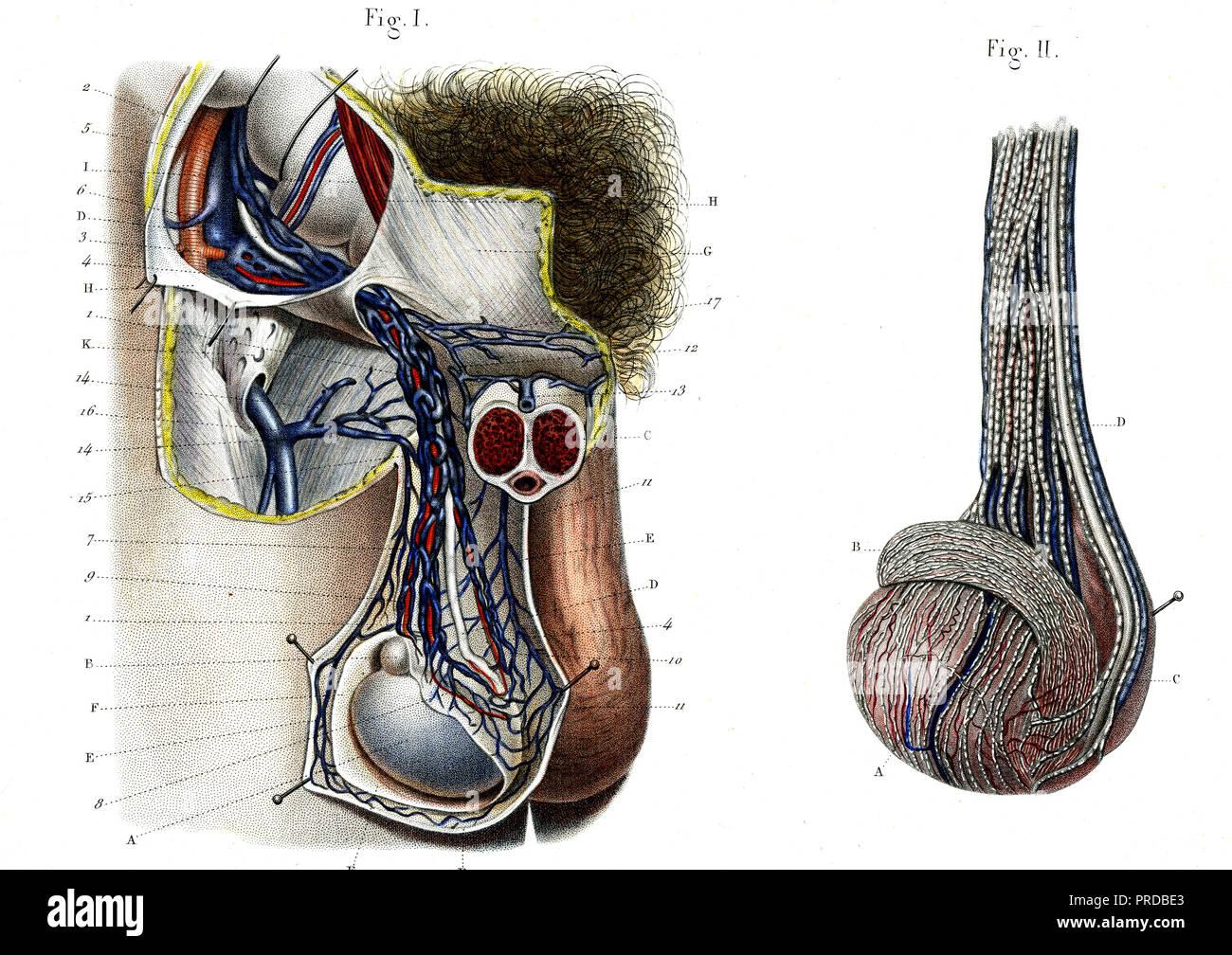 Male Testis Anatomy Stock Photos Male Testis Anatomy Stock Images