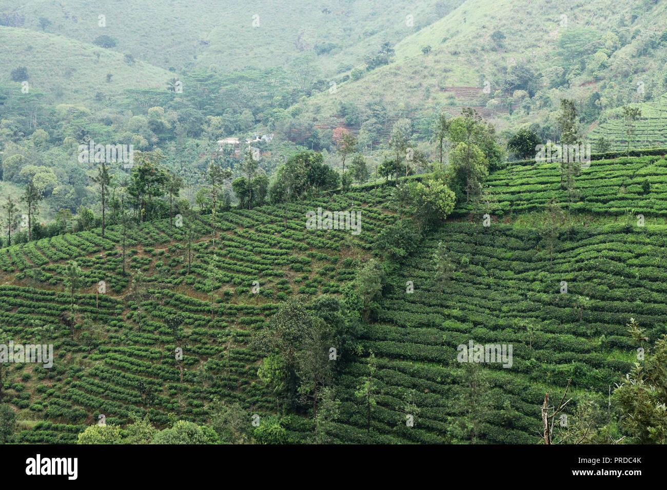 Tea estates on hill - Stock Image