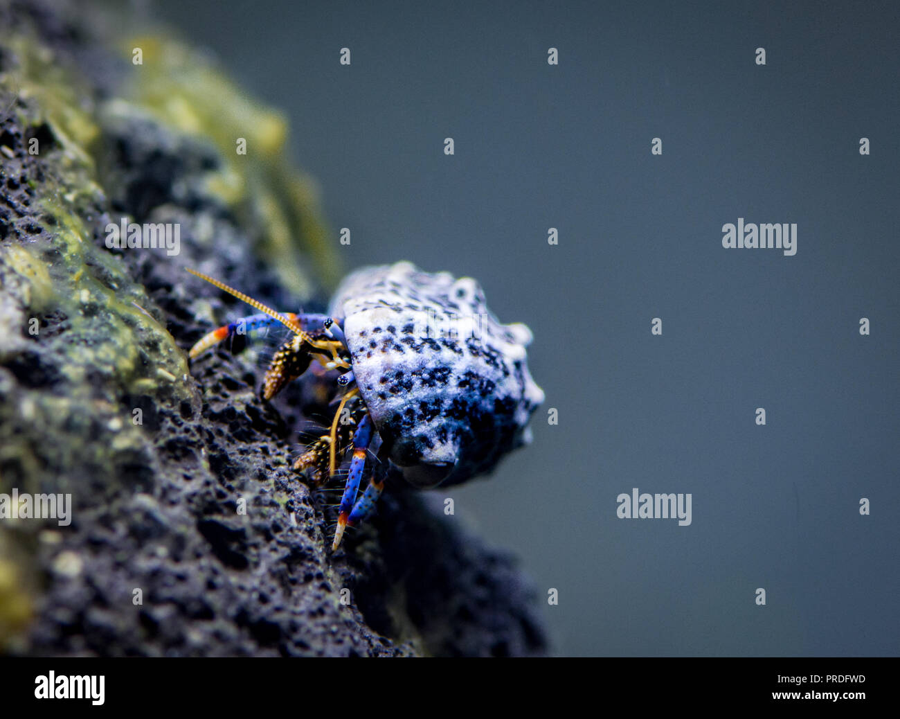 Hermit crab in brackish tank - Stock Image