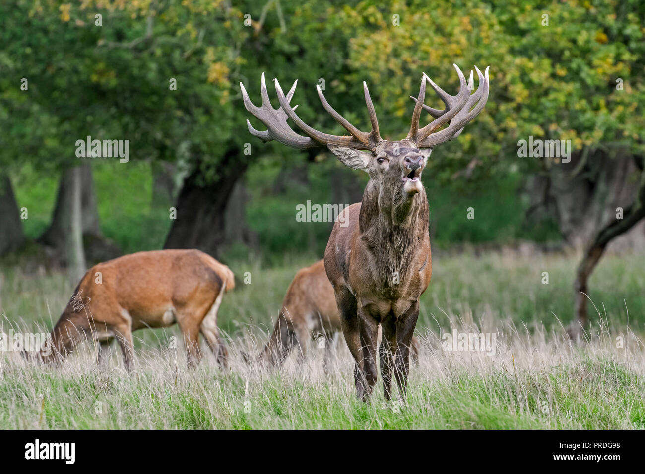 Red deer (Cervus elaphus) stag with huge antlers bellowing among hinds in grassland at forest's edge during the rut in autumn / fall - Stock Image