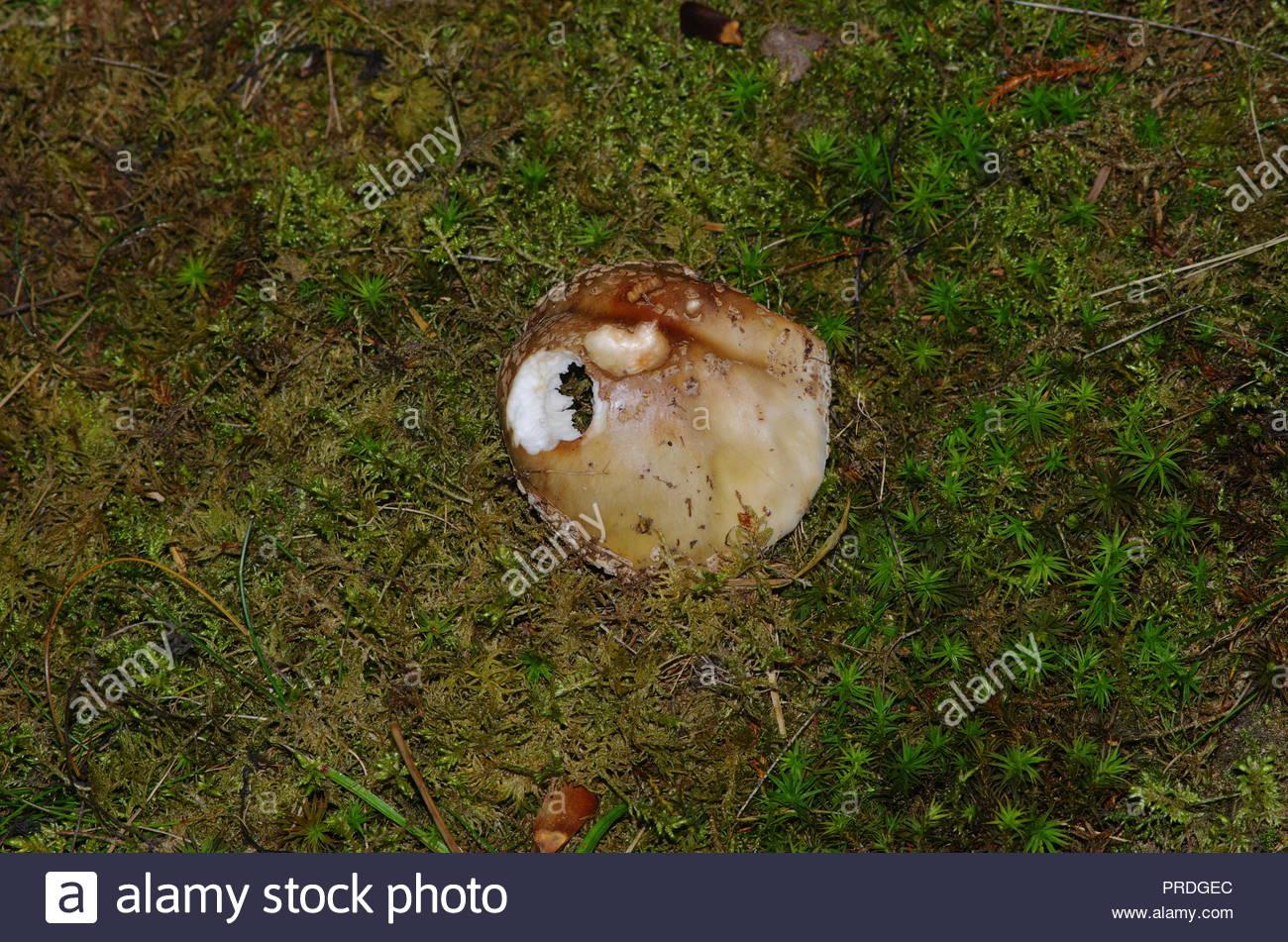 essbare und nicht essbare pilze am waldrand - Stock Image