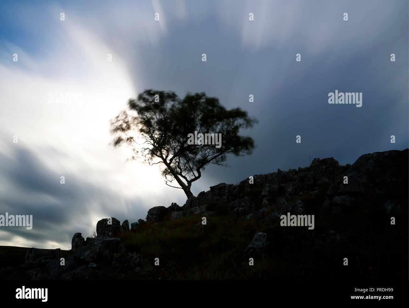 Hawthorn tree standing on hillside silhouetted against a dramatic sky on a windy day - Stock Image