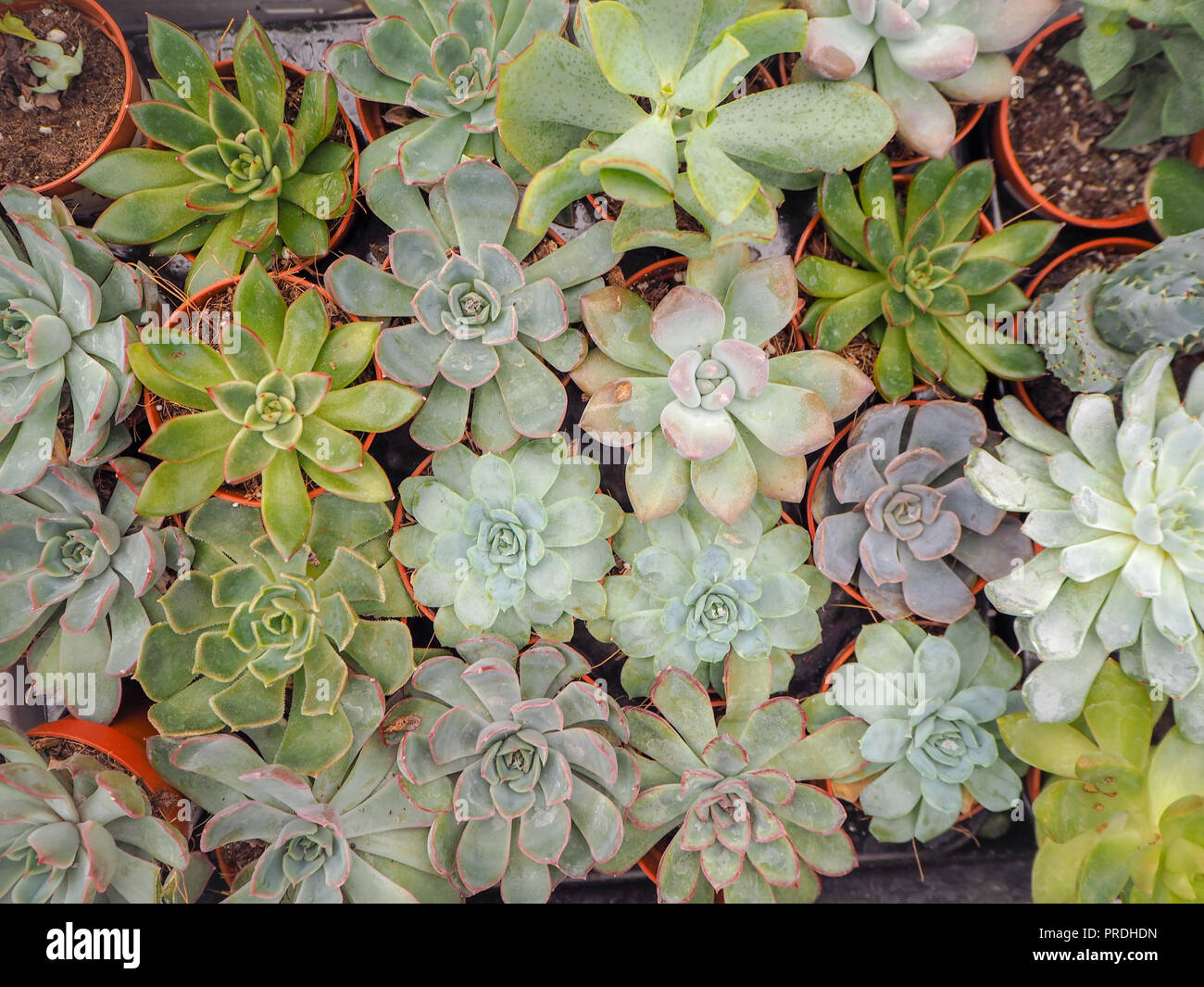 Different small purple and green echeveria succulents ( crassulaceae) aligned next to each other Stock Photo