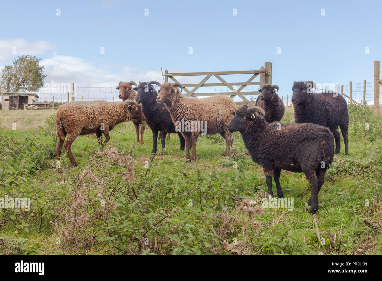 Ouessant sheep, a rare breed of heritage sheep originally from the island of Ouessant in Brittany. - Stock Image