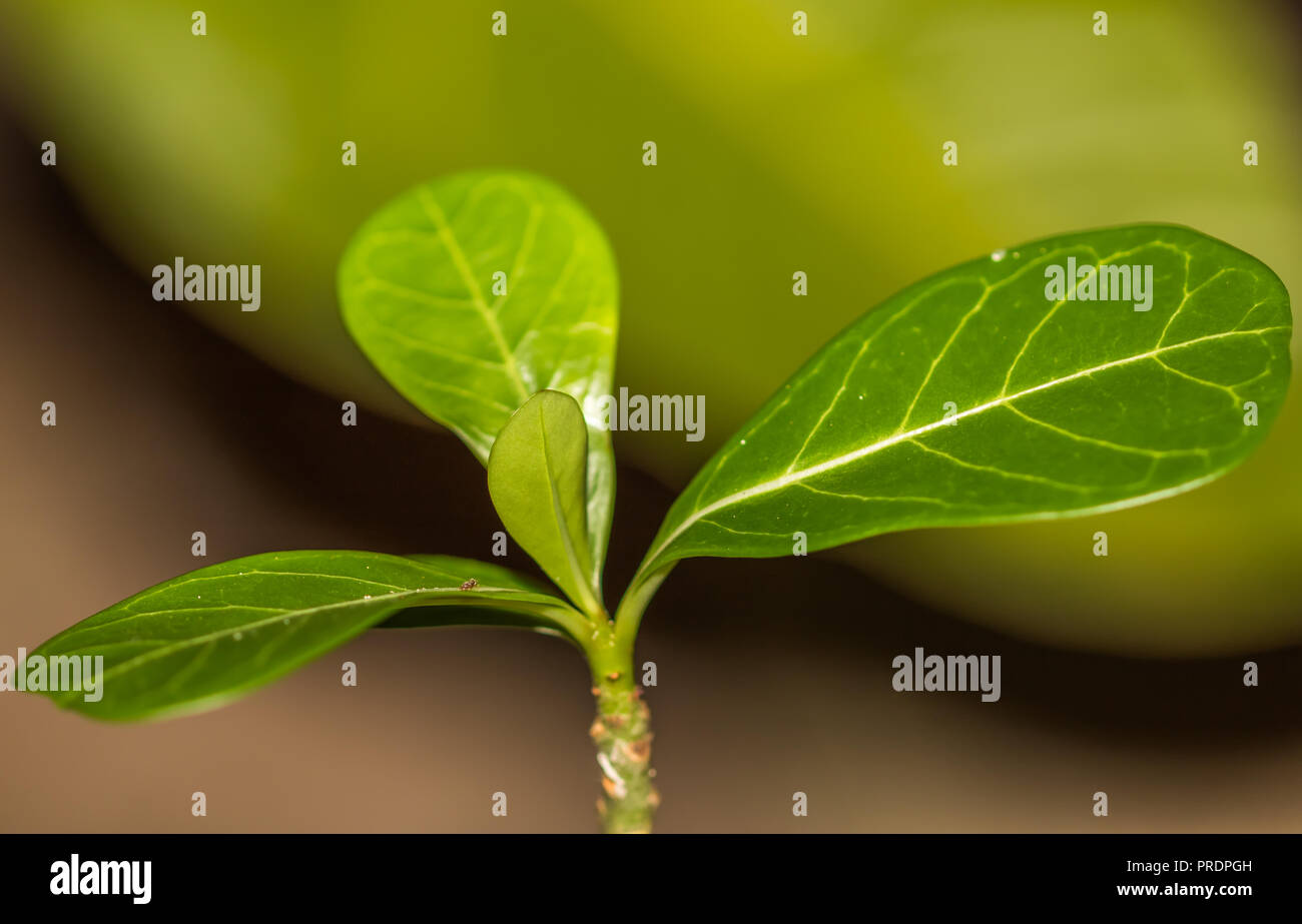 Small Adenium Plant With Leaves Stock Photo 220964593 Alamy