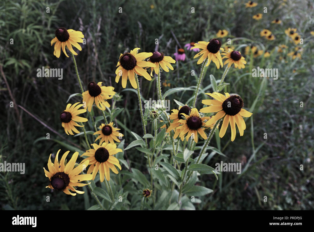 Camomiles in the Field on the Green Grass Background. Wild Flowers Daisy in Yellow muted tones. - Stock Image