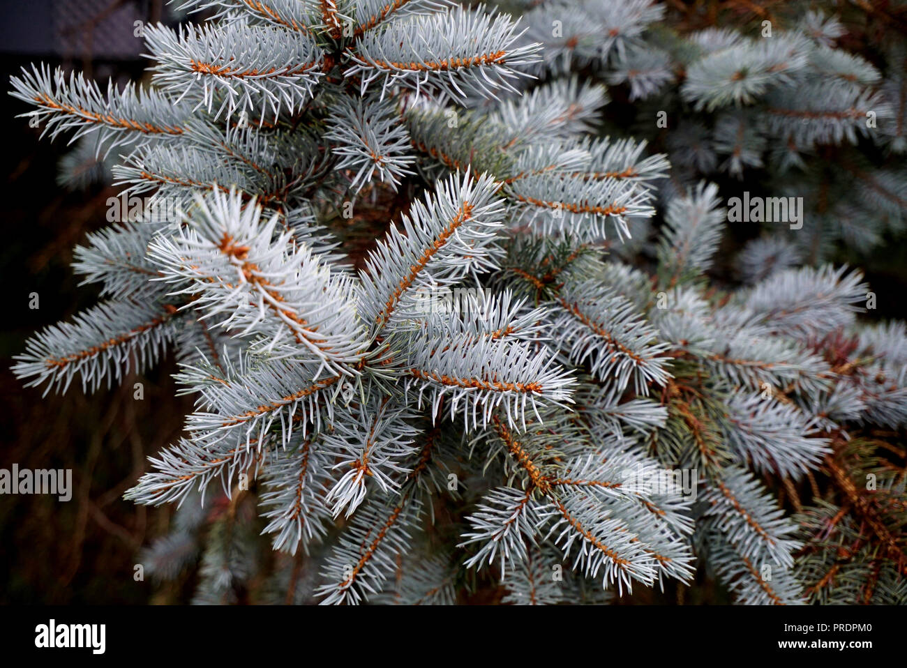 blue spruce close up background textures christmas tree branches white spruce needles in focus closeup