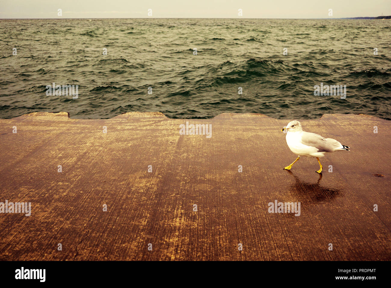 The Seagull Is Walking Along The Pier On A Rainy Day The Bird Walks