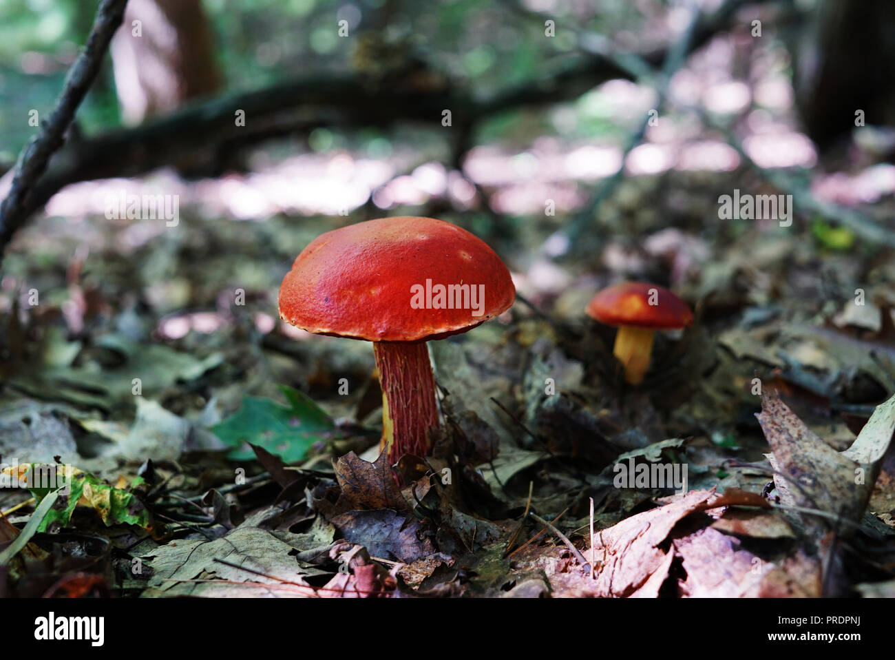 Big beautiful red mushroom close-up on a background of scaffolding and dry foliage. A small fungus is visible on a blurred background. A long large br - Stock Image