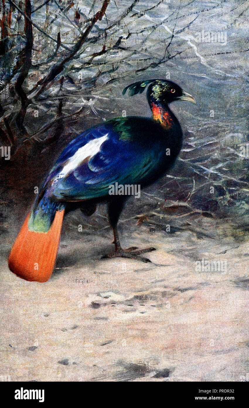 Monal - A monal is a bird of genus Lophophorus of the pheasant family, Phasianidae. - Stock Image