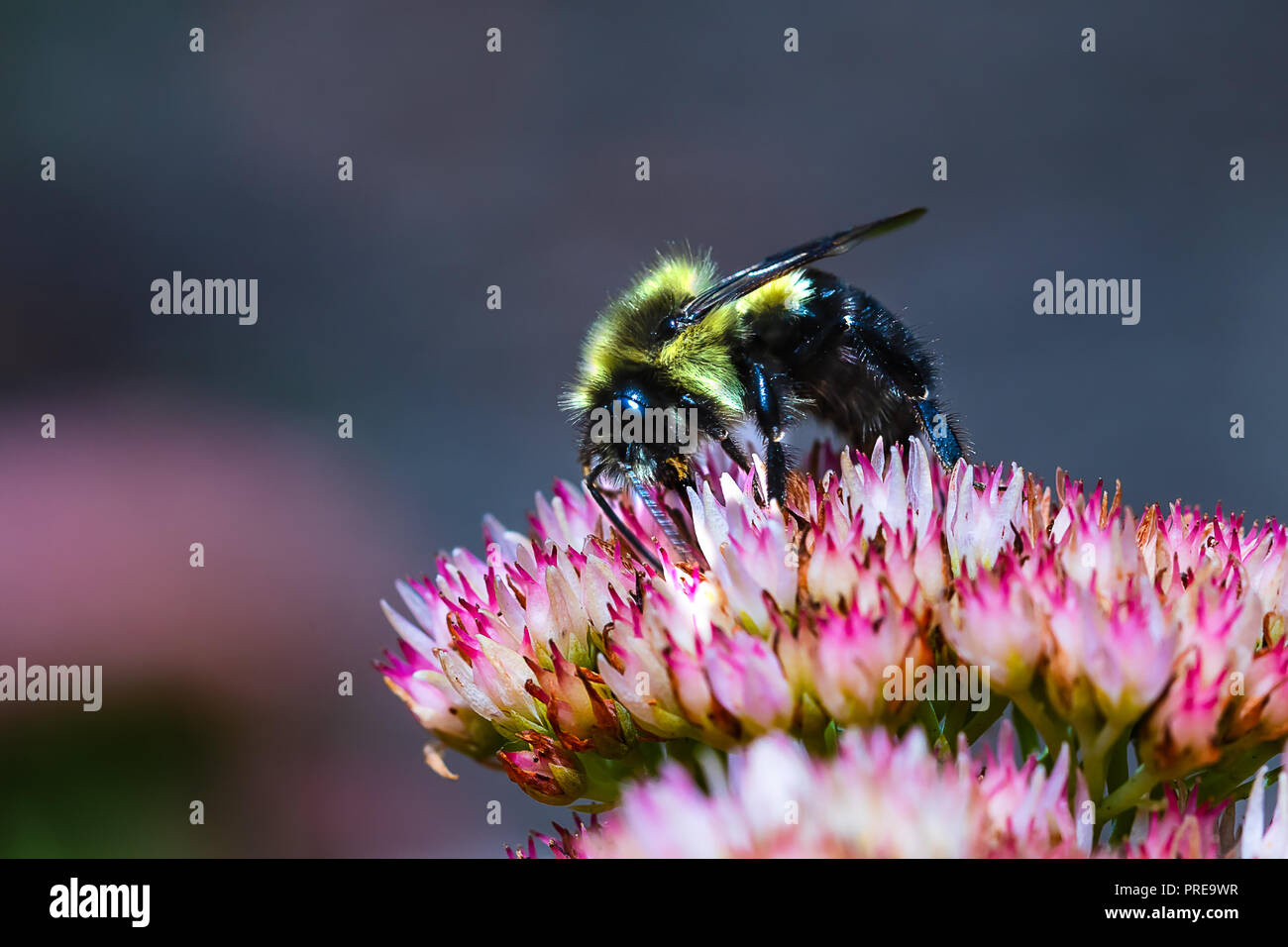 Black and Yellow Bumble Bee collecting Pollen on a flower.  Macro distance with high clarity on the insect. - Stock Image