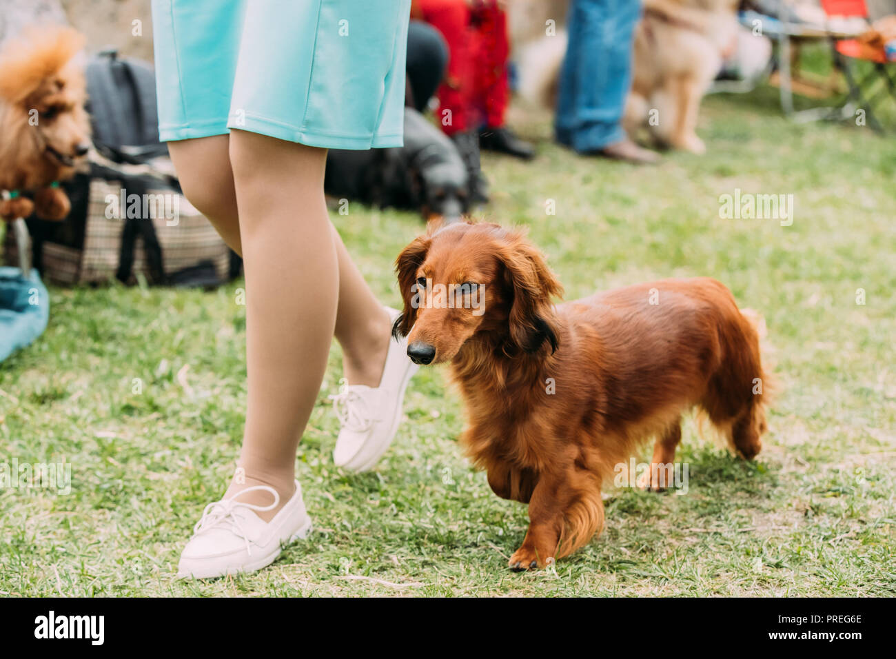Brown Red Longhaired Dachshund Dog Running Near Woman In Green Grass During Training. Stock Photo
