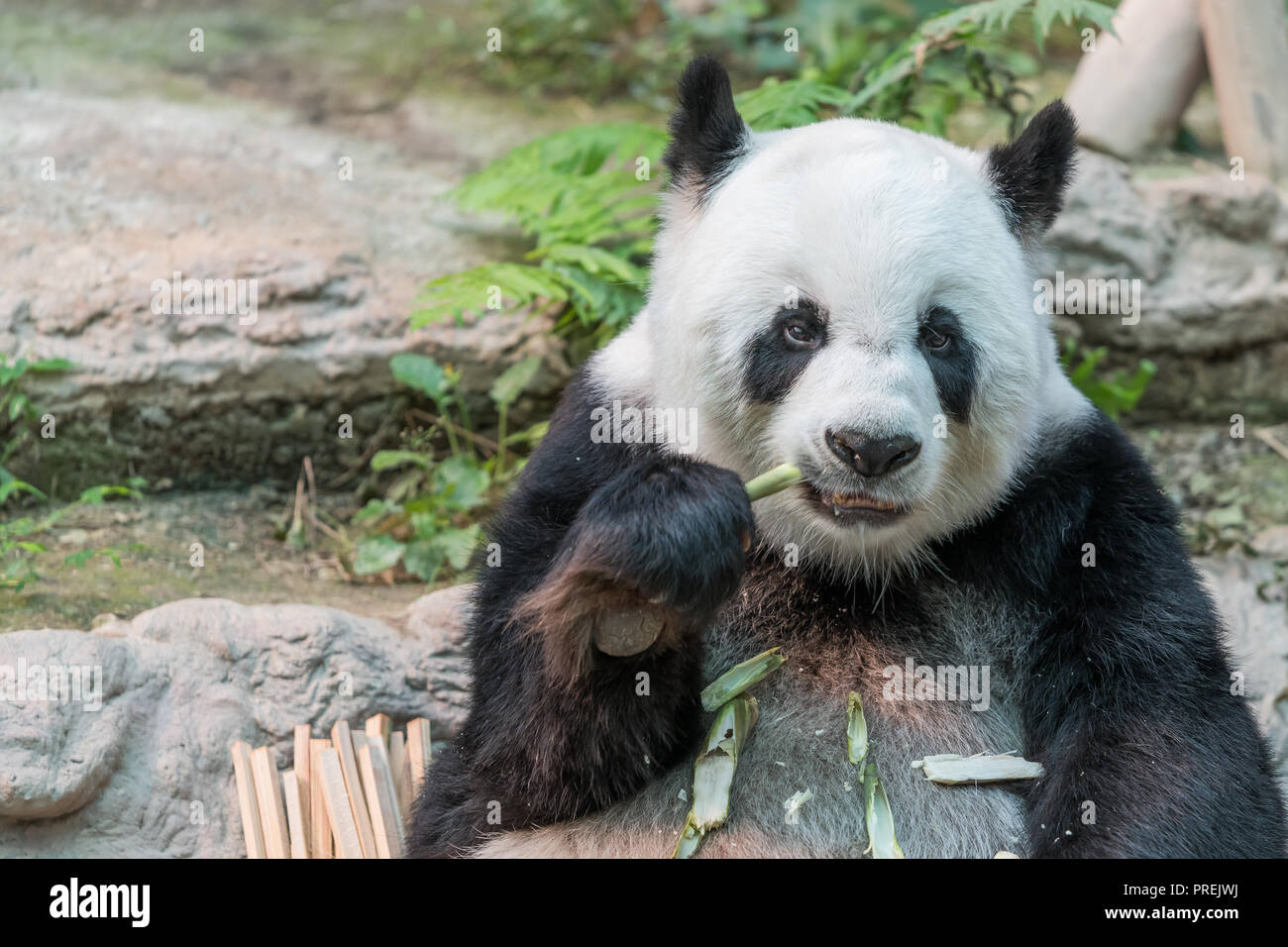 A female giant panda bear enjoy her breakfast of well selected young bamboo shoots and bamboo sticks with cute different eating gestures. - Stock Image