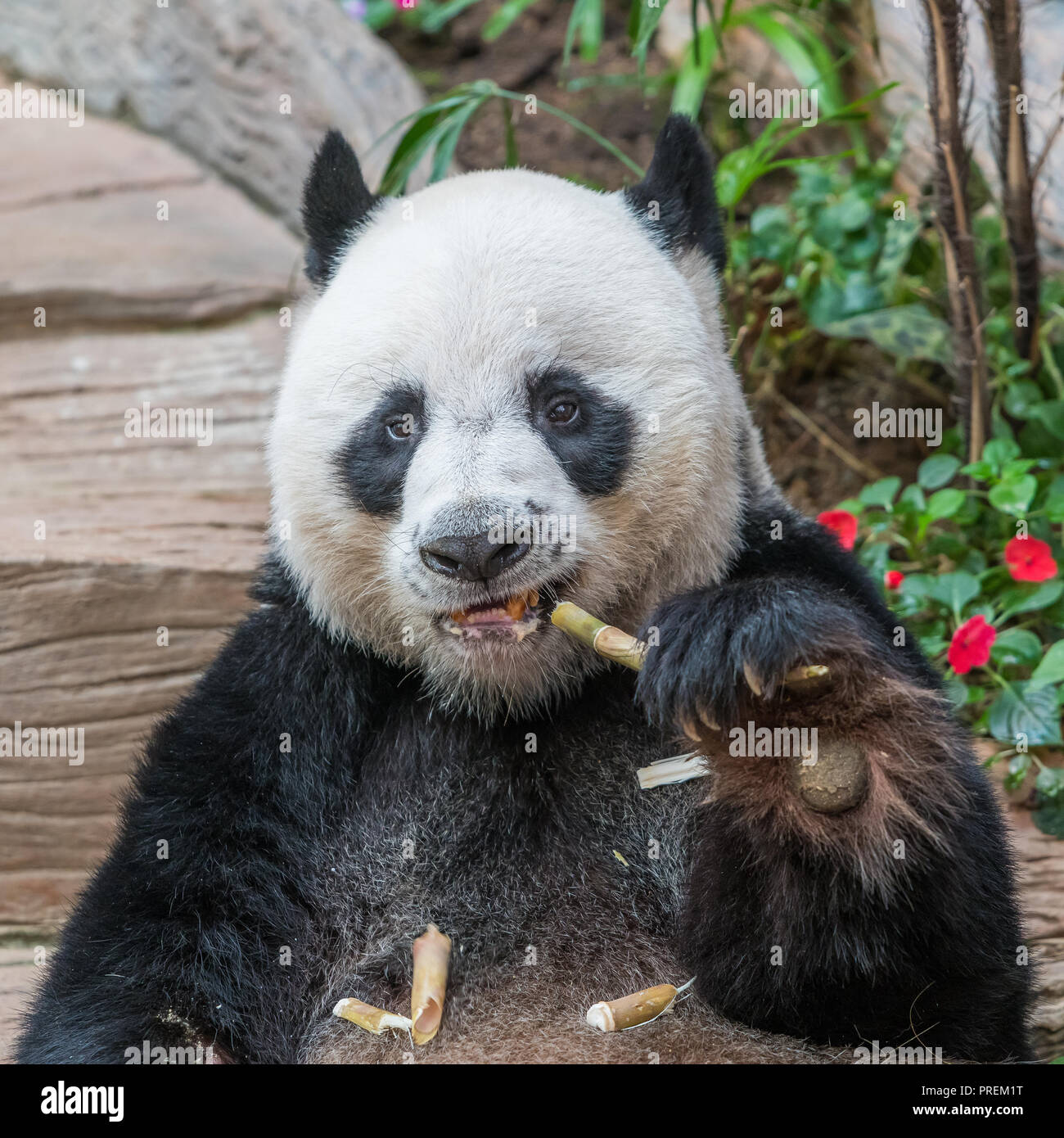 A male giant panda bear enjoy his breakfast of well selected young bamboo shoots and bamboo sticks with cute different eating gestures. - Stock Image