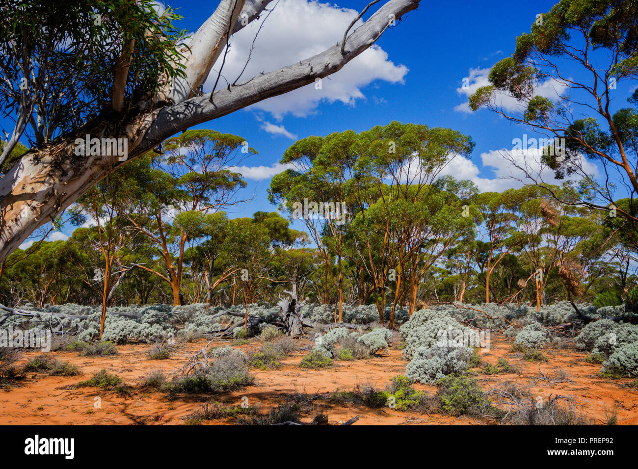 Gimlet gum and saltbush growing in the Great Western Woodlands which is the largest temperate woodland remaining on earth. Western Australia Stock Photo