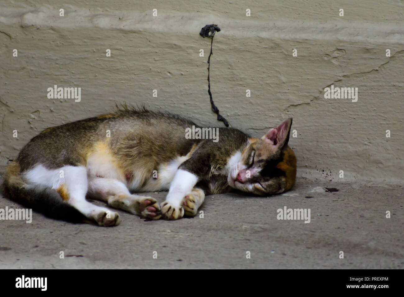 portrait of a beautiful fluffy cat sleeping and relaxing - Stock Image
