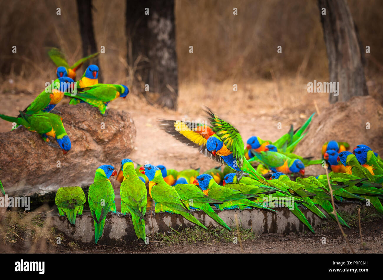 Ever alert a flock of Rainbow Lorikeets settle tentatively on an outback waterhole ready to quench their thirst. - Stock Image