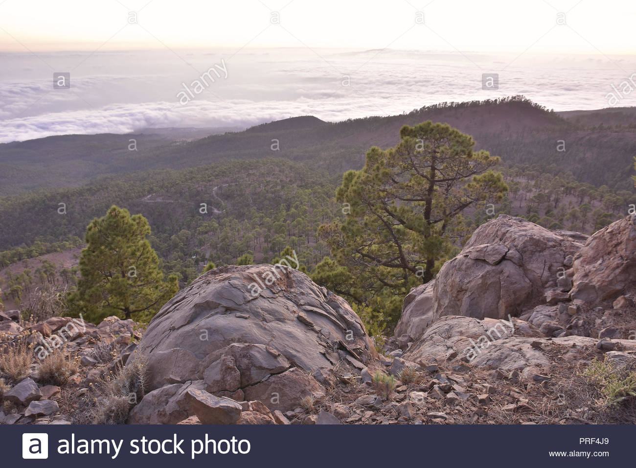 Volcanic rocks and pine trees (Pinus canariensis) of Corona Forestal Natural Park Tenerife Canary Islands Spain. High elevation view at dusk. - Stock Image