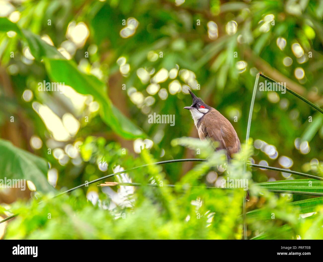 Indian paradise flycatcher in sunny vegetation - Stock Image